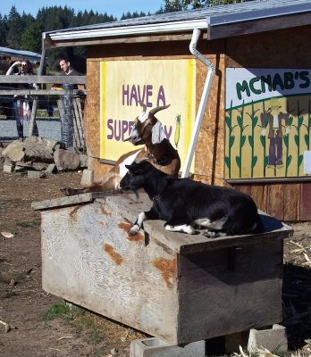 Goats on a roof, Ladysmith style